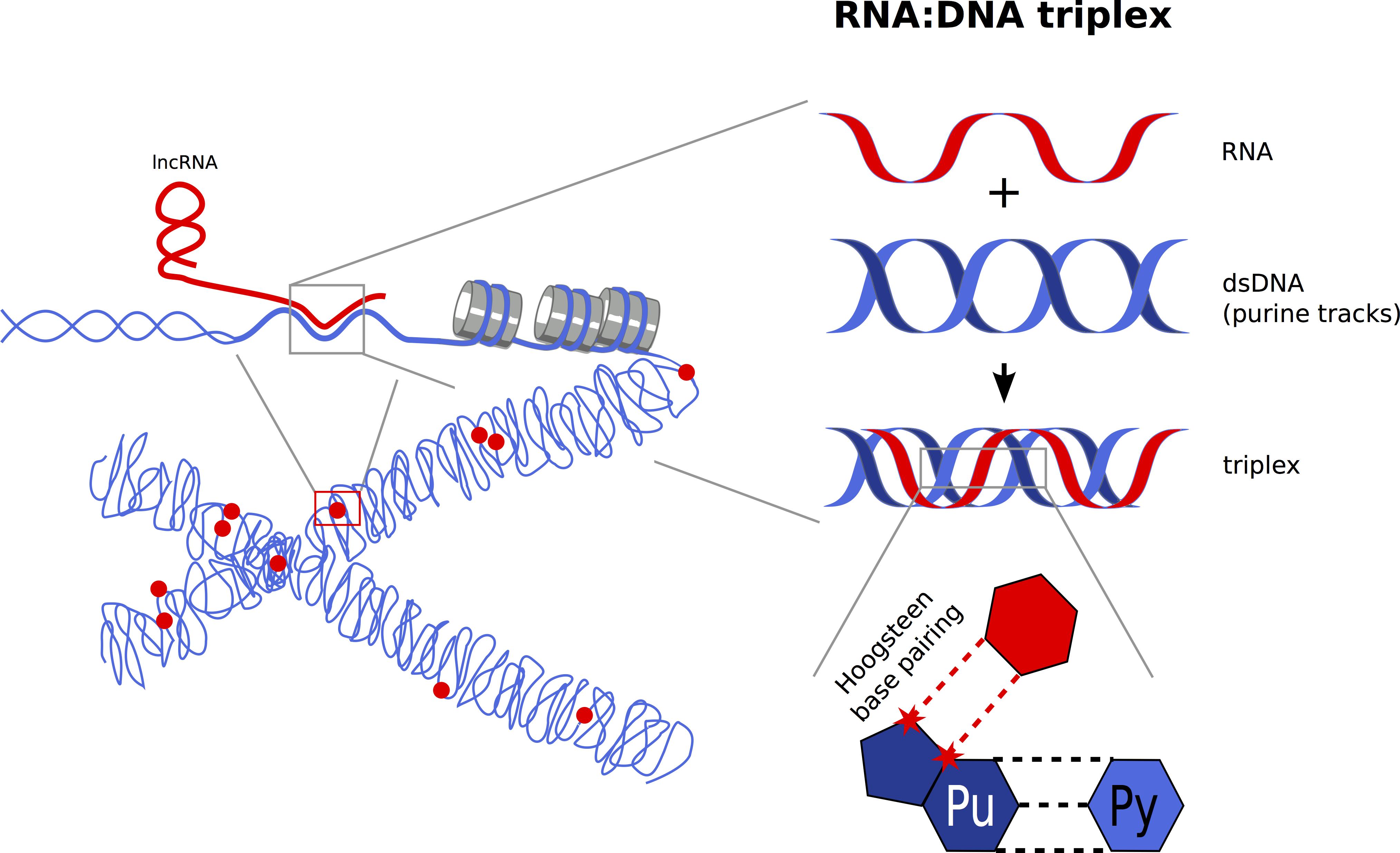 RNA:DNA triplex